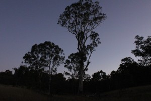 Old giant gum tree