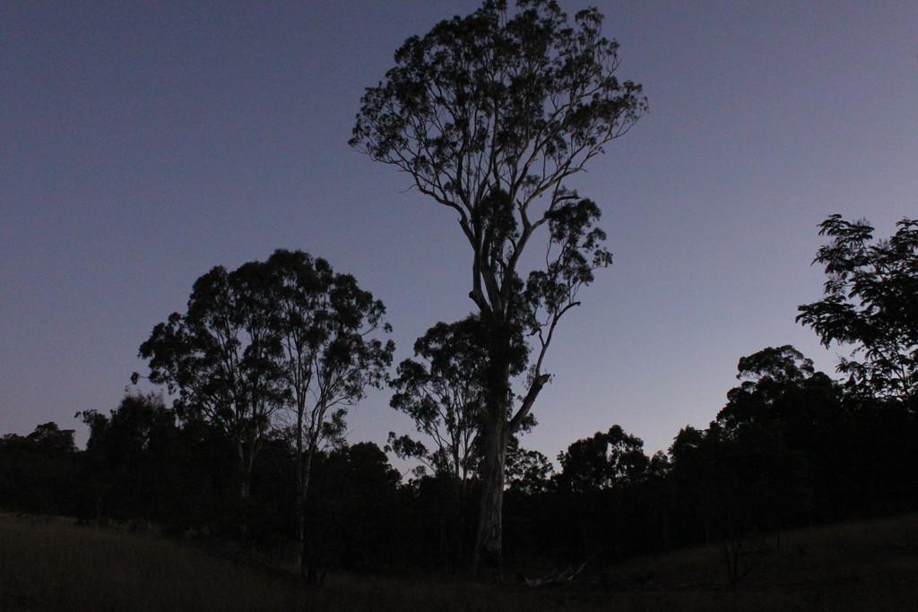 Old giant gum tree