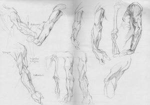 Anatomy - Arms Study