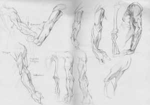Anatomy - Arms Study