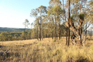 Grass Tree (Xanthorrhoea)