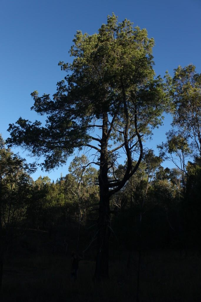 Old Native Pine